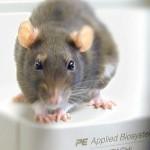 Alex the rat