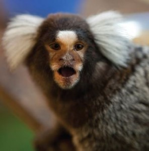Marmosets are big vocalizers