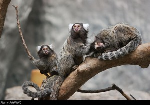 Marmosets are highly social primates