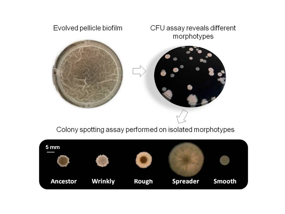 Four distinct colony types observed during evolution of Bacillus subtilis pellicle biofilms.