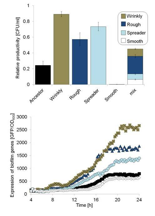 Changes in biofilm productivity and expression of biofilm-related genes by the evolved morphotypes.