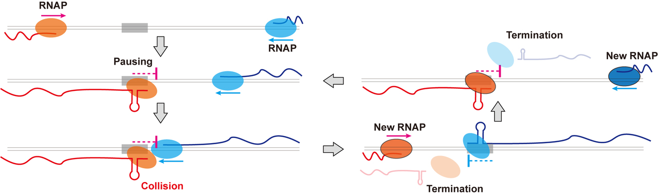 Bacterial transcription machines stop their operation by colliding into each other