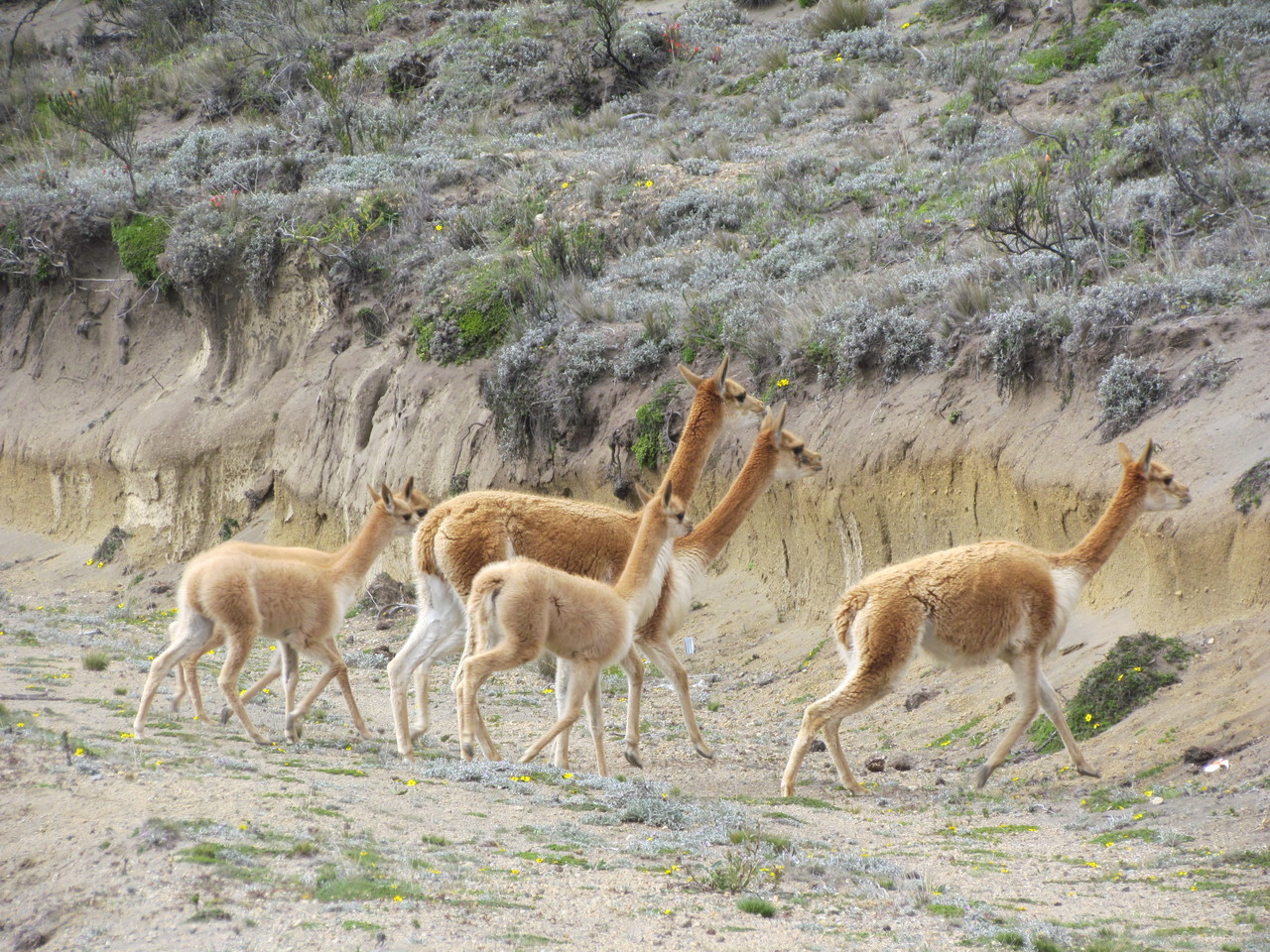 A history of the Ecuadorian vicuña