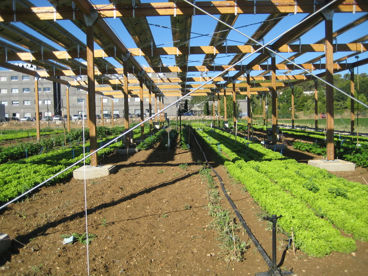Agrivoltaics : a win-win system to combine food and energy production?