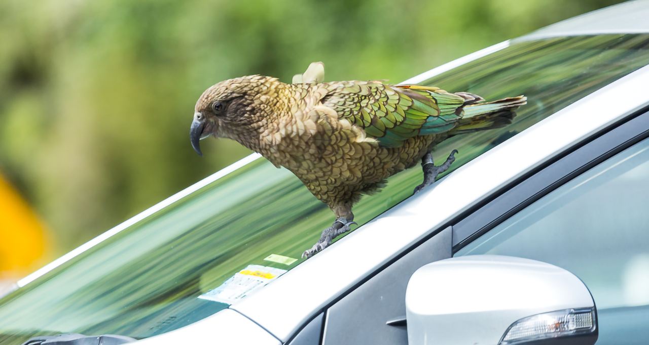 Parrots that Play the Probabilities: Evidence of Domain-General Intelligence in Kea