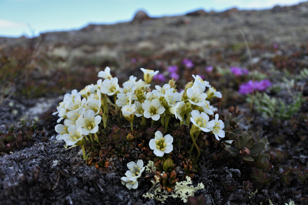 Tiny tundra plants and consistent trait-environment relationships